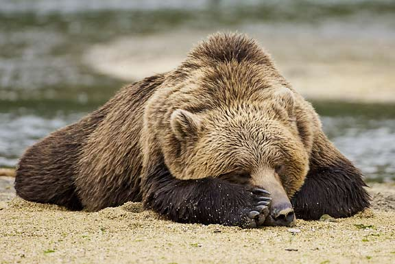 bear napping
