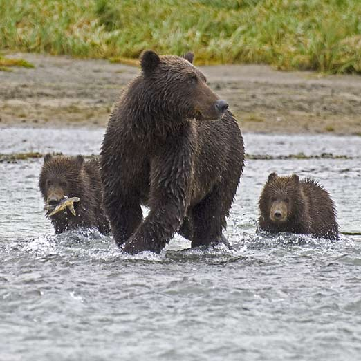 brown bear mom and cubs
