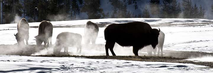 bison in stream